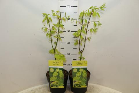 Acer Shirasawanum Jordan Netplant We Export Plants To The Uk