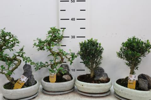 Bonsai Landsape With Rock