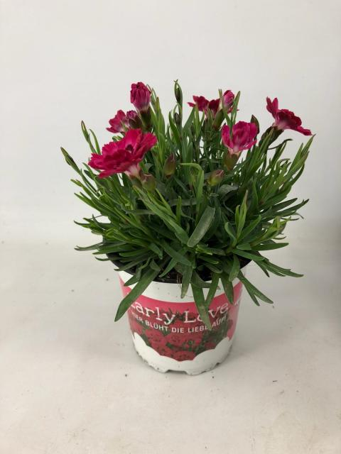 Dianthus Early Love