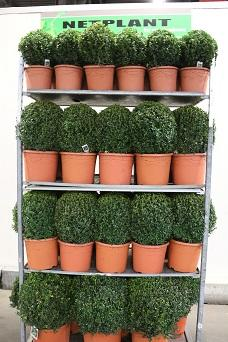Buxus Ball trolley deal