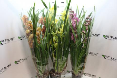 Cymbidium mix 5 spikes!
