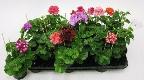 Pelargonium Double Mix CC