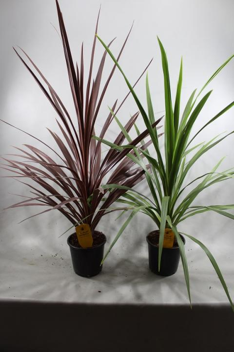 Cordyline trolley deal