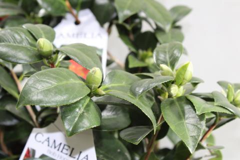 Camellia Bob Hope 10+ Bloom