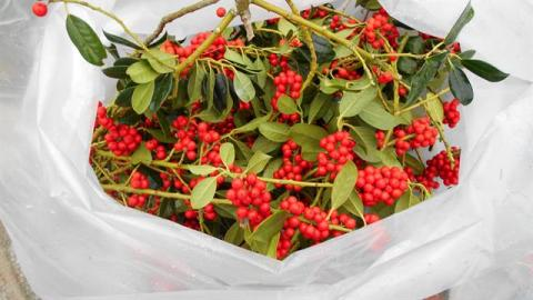 Ilex (red berry) Per 5 Kilo Bag price Per kilo
