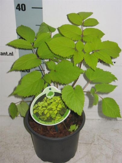 Aralia Cordata Sunking Netplant We Export Plants To The