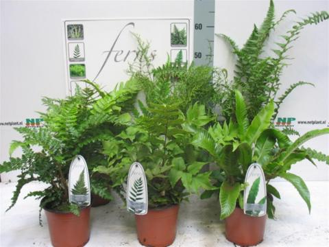 HARDY FERNS MIX
