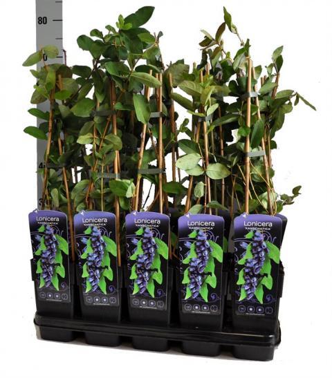 LONICERA KAMTSCHATICA (HONEYBERRY)   Netplant; We export plants to the ...