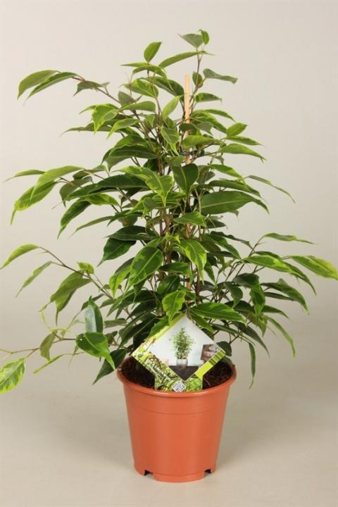 ficus benjamini anastasia netplant we export plants to. Black Bedroom Furniture Sets. Home Design Ideas