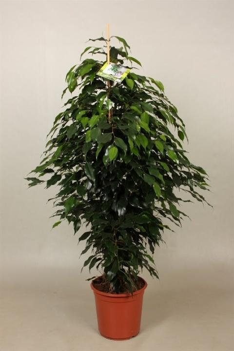 ficus benjamini danielle netplant we export plants to the uk germany eastern europe and. Black Bedroom Furniture Sets. Home Design Ideas