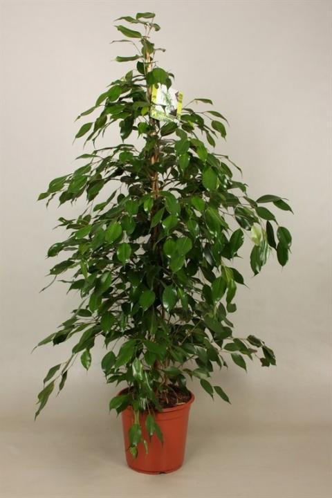 ficus benjamini danita netplant we export plants to the uk germany eastern europe and belgium. Black Bedroom Furniture Sets. Home Design Ideas