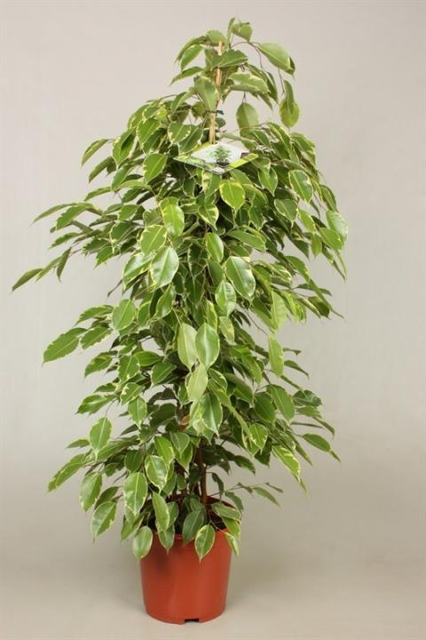 ficus benjamini golden king netplant we export plants. Black Bedroom Furniture Sets. Home Design Ideas