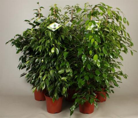 ficus benjamini mix netplant we export plants to the uk. Black Bedroom Furniture Sets. Home Design Ideas