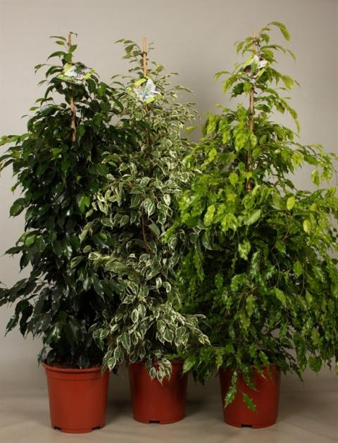 ficus benjamini mix netplant we export plants to the uk germany eastern europe and belgium. Black Bedroom Furniture Sets. Home Design Ideas