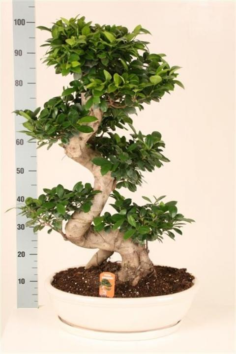 ficus microcarpa ginseng s type netplant we export plants to the uk germany eastern europe. Black Bedroom Furniture Sets. Home Design Ideas