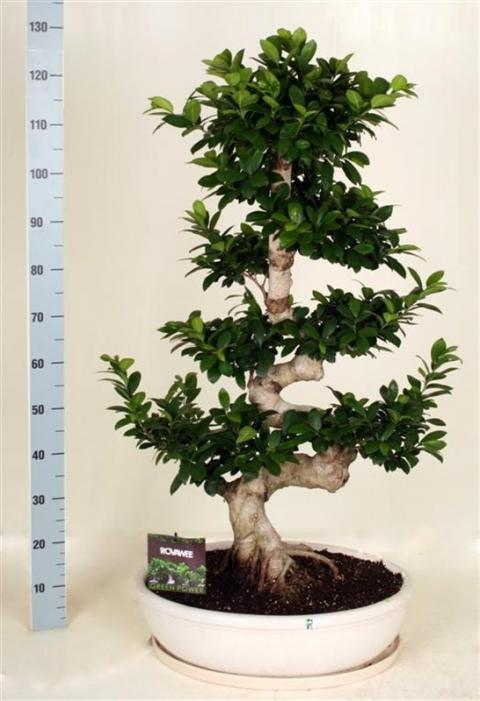 FICUS MICROCARPA GINSENG S TYPE | Netplant; We export plants to the UK ...