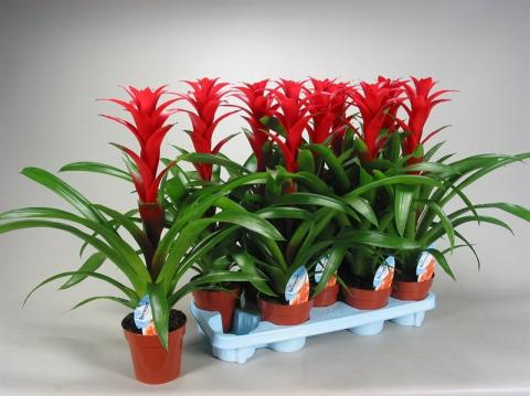 GUZMANIA BRIMSTONE Netplant; We export plants to the UK, Germany, Eastern Europe and Belgium.