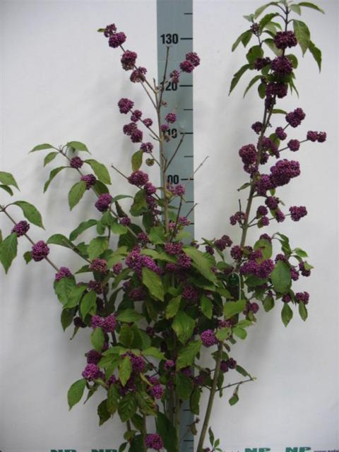 callicarpa bodinieri profusion netplant we export. Black Bedroom Furniture Sets. Home Design Ideas