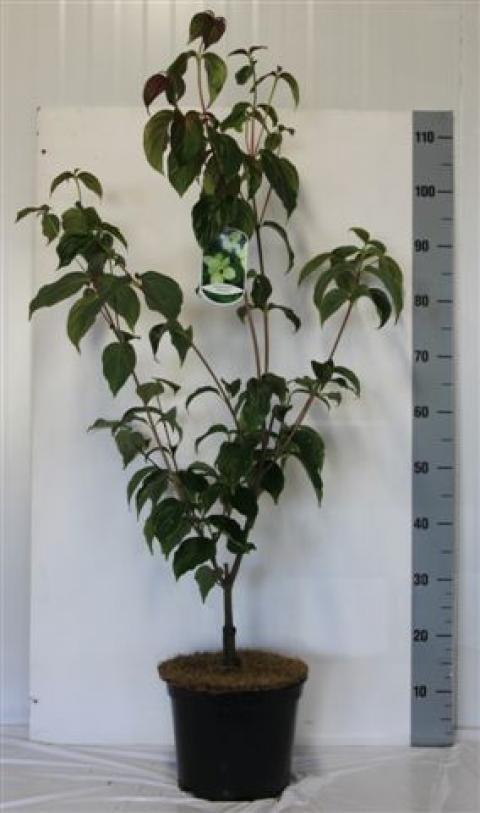 welcome to netplant netplant we export plants to the uk. Black Bedroom Furniture Sets. Home Design Ideas