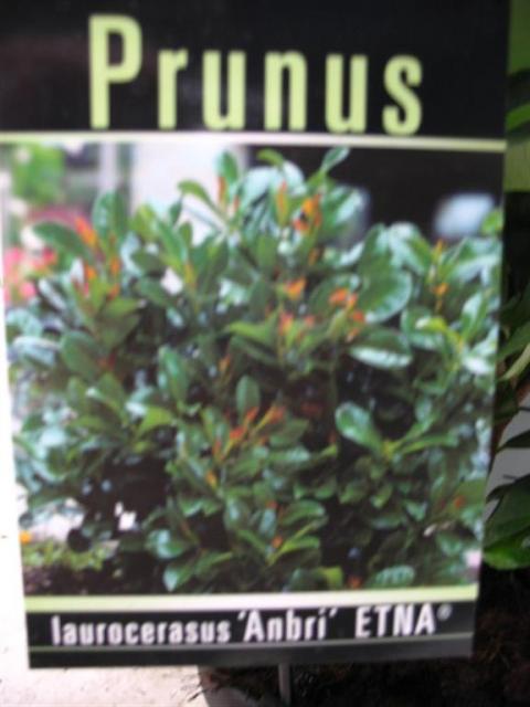 prunus laurocerasus anbrii etna netplant we export plants to the uk germany eastern europe. Black Bedroom Furniture Sets. Home Design Ideas