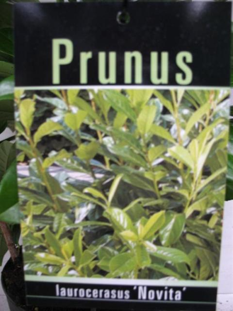 prunus laurocerasus novita netplant we export plants to. Black Bedroom Furniture Sets. Home Design Ideas