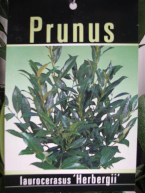 prunus laurocerasus herbergii netplant we export plants to the uk germany eastern europe. Black Bedroom Furniture Sets. Home Design Ideas