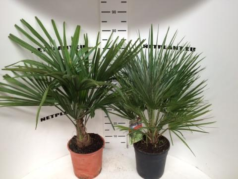 HARDY PALM MIX
