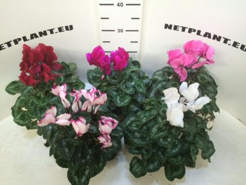 CYCLAMEN HALIOS MIX DIAMETER 30+ CM