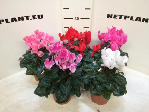 Cyclamen Super Serie allure 23+