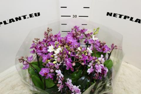 PHALEANOPSIS MINI MIX