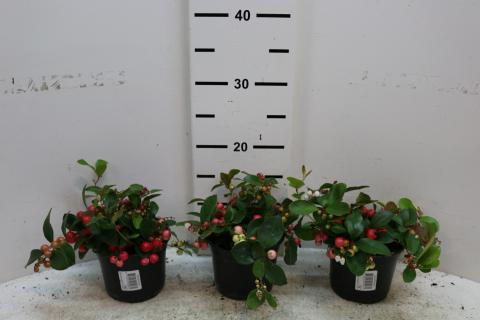Gaultheria procumbens Big Berry
