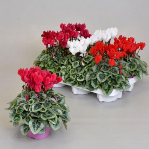 Cyclamen Picasso Mix