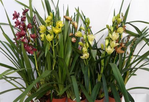 Cymbidium Mix 3-4 Spike