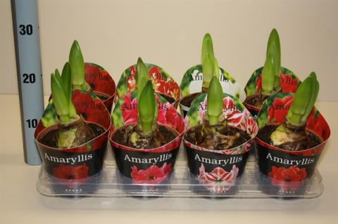 Hippeastrum Exclusive Potcover Mix