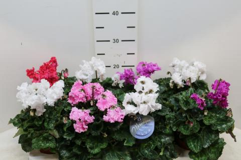 Cyclamen Merenque Mix