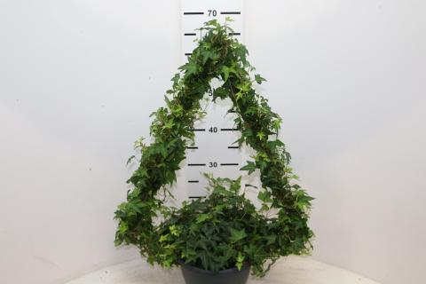 Hedera Xmass Tree